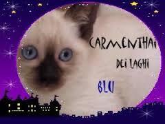 Allevamento Carmen Thai dei Laghi Blu